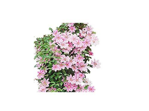 KINGDUO 100Pcs Clematis Fleurs Graines Vivace Plante Jardin Décoration Vignes Escalade Clematis Seed-Rose