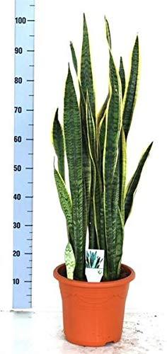Sansevieria trifasciata Laurentii 100-110 cm Bogenhanf bessere Raumluft Zimmerpflanze