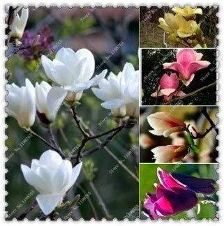 Mélange: 100Pcs / Sac Huang Yulan Magnolia Graines Magnolia Graines Fleurs, Bonsaï Plant Home Garden