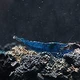 SubstrateSource Neocaridina davidi Blue Dream Shrimp for Freshwater Aquariums (5 Shrimp)