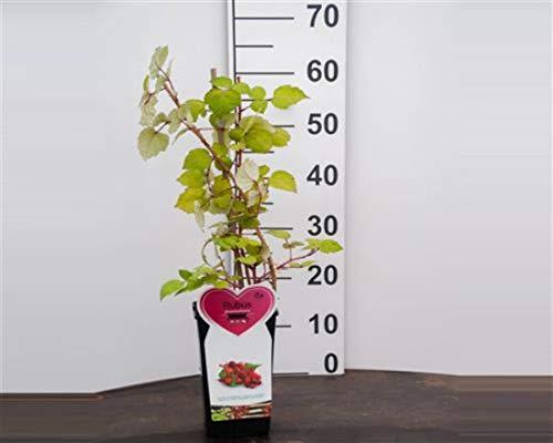 Japanische Weinbeere 1 Stück Rubus phoenicolasius winterhart eßbar Früchte T11