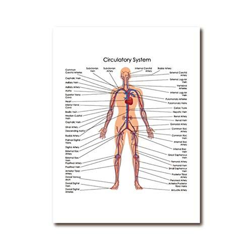 YQQICC Póster con diagrama del sistema circulatorio humano,