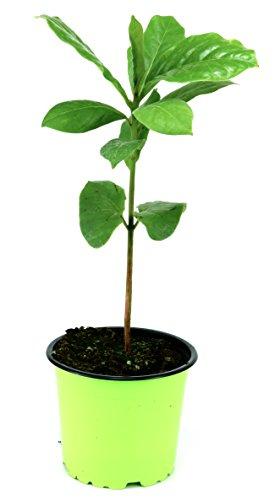 Katappenbaum, Seemandelbaum (Terminalia catappa)