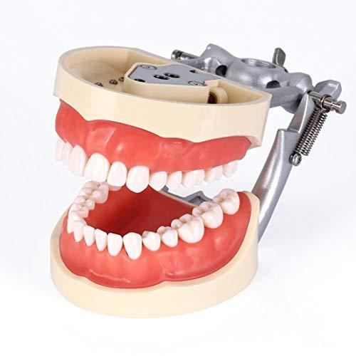 HUIGE Zähne Modell, Weiche Gingivae Standard Erwachsene Zähne Modell, Zahnimplantat-Zähne Modell Mit 28 Entfernbaren Zähnen, Für Dental Labor Materaials Lehre