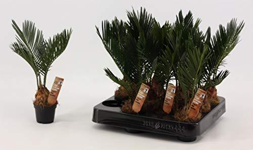 Cycas Revoluta 20-25 cm Palmfarn Sagopalme Zimmerpflanze