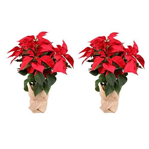 Planta Navidad - Pack 2 Flor de pascua - Poinsettia - Altura 55 cm - Planta natural - Envío gratis