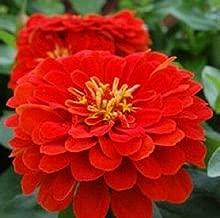 50 Zinnia Seeds Dreamland Scarlet Flower Seeds