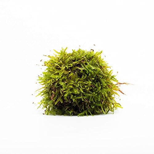 Christmas Moss Vesicularia sp. Portion Live Aquatic Moss (Small Portion)