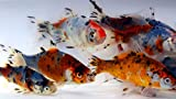 Toledo Goldfish Live Shubunkin Goldfish for Ponds, Aquariums or Tanks –...
