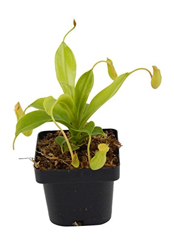 Pitcher Plant Nepenthes - Carnivorous Plant - Small Potted