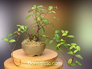 Nature's Highlight an Indoor Flowering Jasmine Bonsai Tree - A Healthy Noble Gift