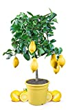 Meine Orangerie Zitronenbaum Mezzo - echter Citrusbaum - 70 bis 100 cm - veredelte Zitrone im 6,5 Liter Topf - Citrus Limon - Lemon Tree - Fruchtreife Zitronen Pflanze in Gärtnerqualität