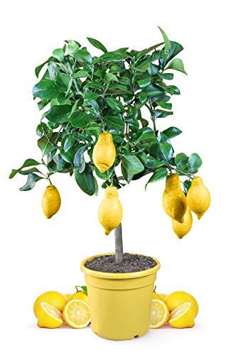 Meine Orangerie Zitronenbaum Mezzo - echter Citrusbaum - 80 bis 100 cm - veredelte Zitrone im 8,5 Liter Topf - Citrus Limon - Lemon Tree - Fruchtreife Zitronen Pflanze in Gärtnerqualität