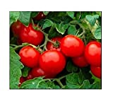"Name: Red Cherry - Large Tomato | Type: Heirloom Indeterminate Size at Maturity: 1 1/4"" Diameter 