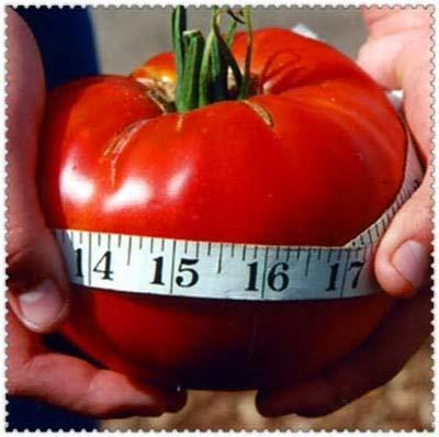 200 Same Riesen Tomaten rot