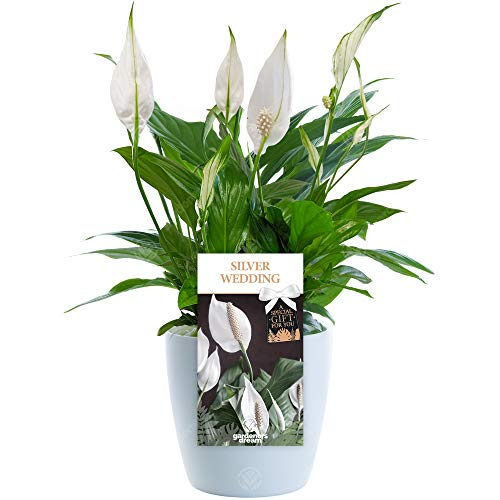 Silver Wedding Peace Lily - 25th Wedding Anniversary Gift - Help Celebrate a Special Couple's Silver Wedding Anniversary with a Unique Living Plant Gift