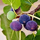 Pixies Gardens Chicago Hardy Fig Tree Live Fruit Plant 1 Gallon