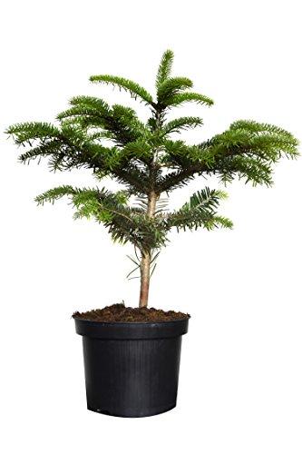 5 x Nordmanntanne im Topf gewachsen (5 Jährig) Weihnachtsbaum mit Anwachsgarantie (5 Stk. ca. 40cm)
