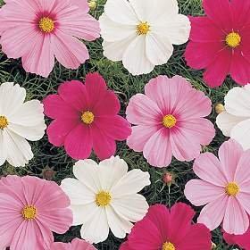 Cosmos Cutesy Mix 1,000 seeds
