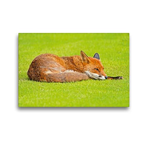 Premium Textil de lienzo 45cm x 30cm Horizontal Un zorro roja se relaja en una pradera verdes, 45x30 cm