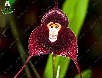 100pcs 5 types de singe mignon orchidée visage Graines singe orchidée plantes Bonsai fleurs Semences pour la maison et le jardin Livraison gratuite Violet