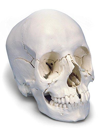 3B Scientific Menschliche Anatomie - Steckschädelmodell – Anatomische Version, 22-teilig + kostenloser Anatomiesoftware - 3B Smart Anatomy