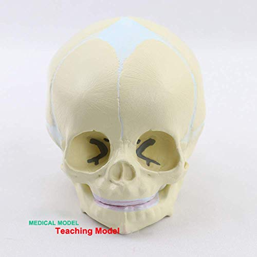 Educational Anatomical Model Human Fetus (Infant) Skull Anatomical Model, Life Size,for Teaching, Medical Practice,Students,Laboratory Clinic Decoration,Artists
