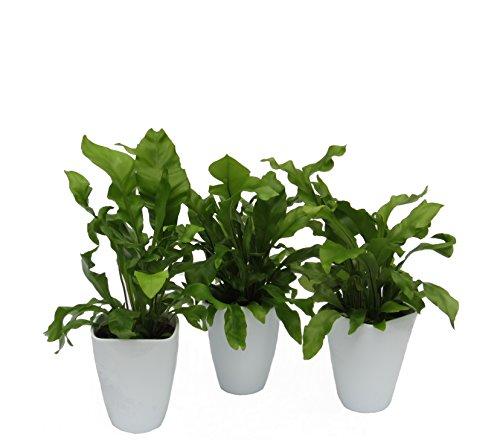 """Dominik Blumen und Pflanzen, Zimmerpflanzen Nestfarn """"Asplenium nidus"""", 3 Pflanzen, circa 15 cm hoch, 13 cm Topf und Dekotopf, weiß / grün"""