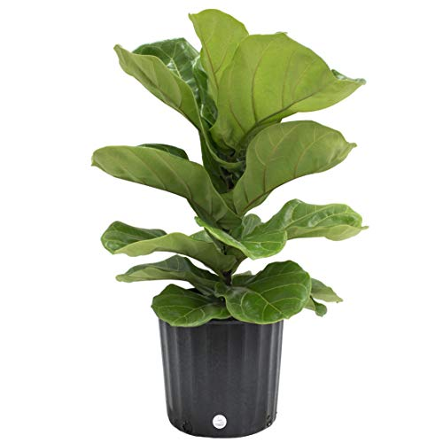 Costa Farms Ficus Lyrata Fiddle Leaf Fig Tree, Live Indoor Plant, Grower's Pot, 20 to 24-Inches Tall