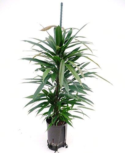 Ficus benjamini 70-80 cm, in Hydrokultur (15/19er Kulturtopf), pflegeleichte Zimmerpflanze, für Schatten, große Zimmerpflanze, Ficus Amstel King