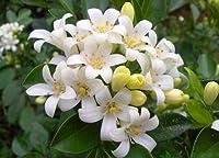 チューベローズ チューベローズ球根 魅力的な庭園植物 栽培が簡単 装飾用-5 球根