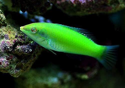 【海水魚/観賞魚/ベラ】ライムラス ■サイズ:4cm± (1匹)
