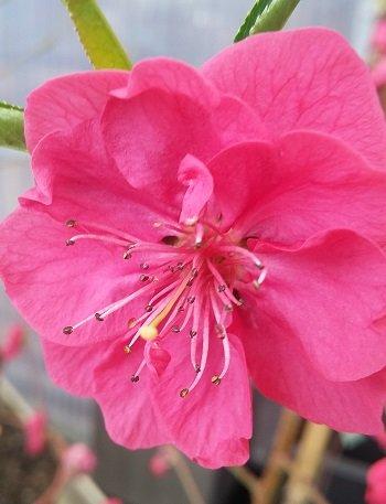 Zierpfirsich, reiche Blüte, leckere Früchte,100-120cm im Topf