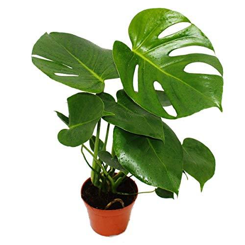 Exotenherz - Fensterblatt - Monstera deliciosa - 1 Pflanze - pflegeleicht - luftreinigend - 12cm Topf