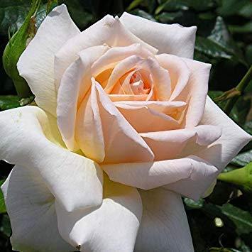 SANHOC Samen-Paket: CHANDOS Beauty - Bareroot Hybrid Voll Standard-Rose - Peachy/Blüte - Starke FragranceSEED