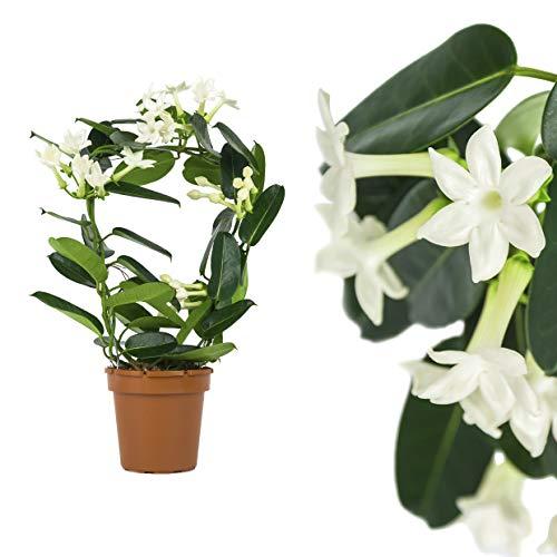 Stephanotis,Kranzschlinge,Madagaskar-Jasmin 45cm +/- wohl duftend, Zimmerpflanzen, Kletterpflanzen - echte Stephanotis floribunda - immergrün, lange Blütezeit