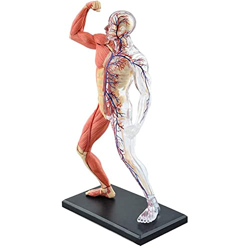 XHLLX 4D Visión Músculo Humano y Esqueleto Anatomía Modelo Desmontable 45 Partes Puzzle Montaje Juguete Médico Capacitación