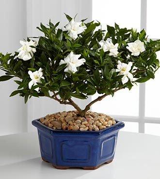 11.11 Promotion! 100 Graines Gardenia (Cape Jasmine) -DIY jardin en pot Bonsai, odeur incroyable et de belles fleurs, Shipp gratuit