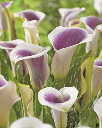 Calla Picasso Zantedeschia Blumenzwiebeln (1 Blumenzwiebel)