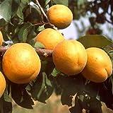 Aimado Seeds Garden - Graines de Abricotier Bergeron Fruitiers Jaune parfumée autofertile Grainé fleur jardin plante vivace résistante au froid