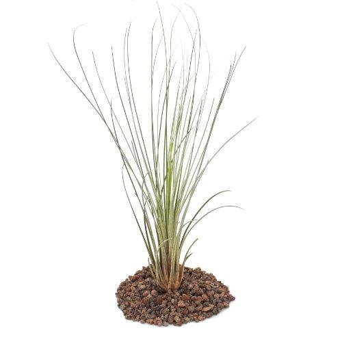 Exotenherz - Tillandsia juncea - lose Pflanze - groß