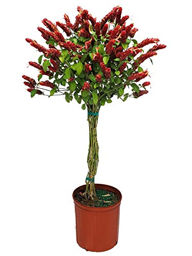 Braided Shrimp Tree - Red Flowers - 3 Gallon Pot - Overall Height 44' to 48' -...