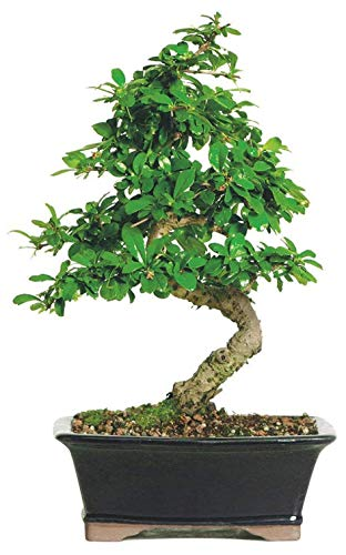 Brussel's Bonsai Live Fukien Tea Indoor Bonsai Tree-6 Years Old 6' to 10' Tall with Decorative Container,