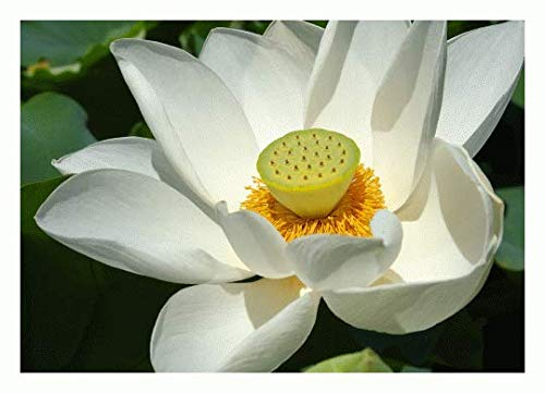 TROPICA - Weisse Lotusblume - 4 Samen (Nelumbo nucifera `White`)