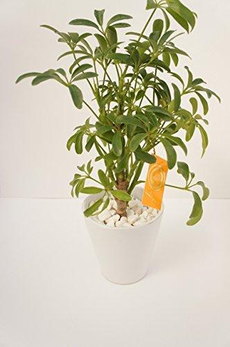 【土を使っていないから衛生的でお部屋のインテリアにぴったり。お世話簡単!】 観葉植物 ハイドロカルチャー コーン(白陶器) カポック ハイドロボール