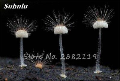 Nouveaux 80 Pcs champignons rares Graines Succulent Plant, Godsend cadeaux, Ornement Pot, jardin Fournitures de bonsaïs d'intérieur pour Happy Farm 9