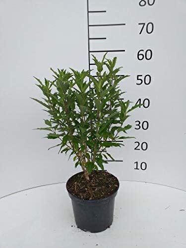 Späth Bartblume 'Grand Bleu' -R- LH 30-40 cm im 3 Liter Topf Zierstrauch winterhart Gartenpflanze blau blühend