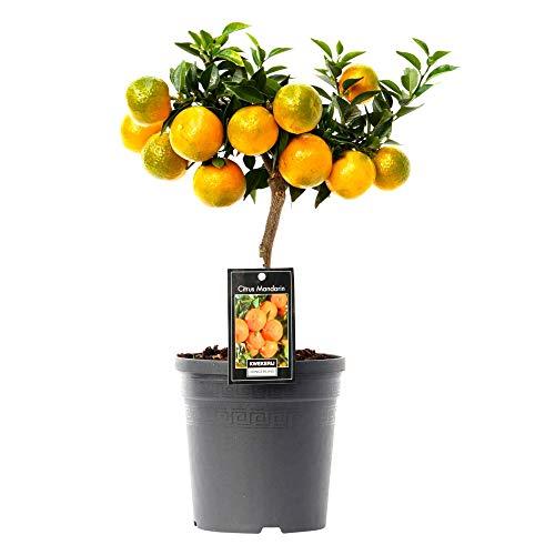Citrus Reticulata | Mandarinenbaum | Lieferhöhe 80-85cm | Topfgröße Ø22