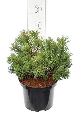 Bergkiefer - Pinus mugo Mops - Gesamthöhe 40-50 cm inkl. 5 Ltr. Topf