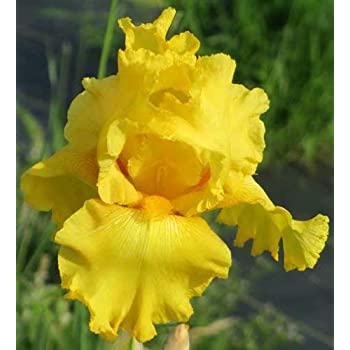 Amazon Com 10 Yellow Iris Bulbs Perennial Iris Bulbs Fragrant